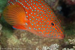 BD-100922-St-Johns-2069-Cephalopholis-miniata-(Forsskål.-1775)-[Coral-hind.-Juvelabborre].jpg